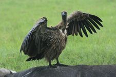 Africa Tanzania Bird Of Prey Vulture Royalty Free Stock Image