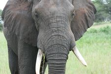 Africa Tanzania Big Elephant Royalty Free Stock Photos
