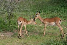 Africa Tanzania Thomson S Gazelle Stock Image