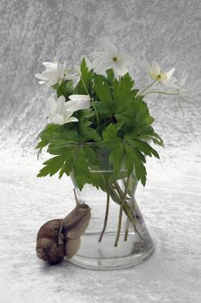 Free Still-life In Windflower And Snail Royalty Free Stock Photo - 14110705