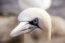 Free Northern Gannet Royalty Free Stock Images - 14110819