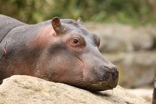 Free Baby Hippo Restings It Head On A Rock Royalty Free Stock Images - 14111129
