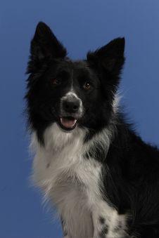 Dog Portrait On Blue Background Stock Photography