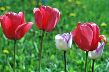 Free Tulips Stock Photography - 14112142