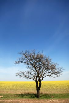Free Tree Near Rape Field. Royalty Free Stock Images - 14113889