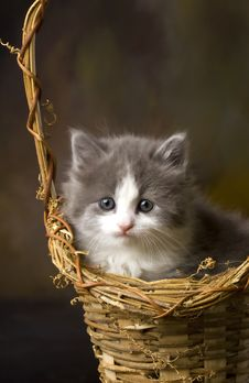 Grey And White Kitten In Basket Royalty Free Stock Photography