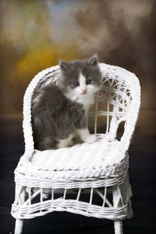 Grey And White Kitten On Wicker Chair Royalty Free Stock Photography