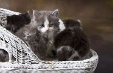 Free Fuzzy Kittens On Wicker Chair Royalty Free Stock Images - 14115069