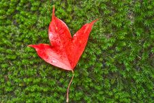 Free Leaf Of Maple Royalty Free Stock Photo - 14115115