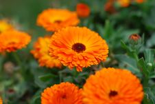 Free Orange Chrysanthemum Flowers Royalty Free Stock Photo - 14115585