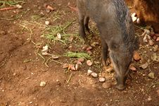 Free Wild Boar Royalty Free Stock Photo - 14115785
