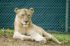 Free Lioness Stock Photography - 14115922