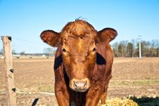 Friendly Cattle On Straw Royalty Free Stock Photo