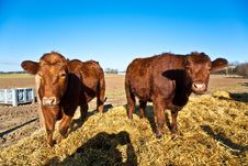 Friendly Cattle On Straw Royalty Free Stock Photos