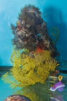Free Sea Star In Saltwater Aquarium Royalty Free Stock Photo - 14116495