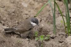 Free Lesser Whitethroat On Ground Royalty Free Stock Photos - 14116918
