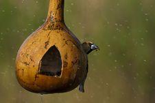 Hawfinch On Feeder In Rain Royalty Free Stock Photos