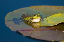 Free Edible Frog On Waterlily Leaf Royalty Free Stock Photo - 14117125