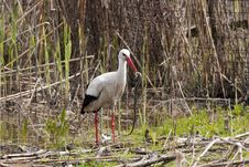 Free White Stork Eating A Snake Royalty Free Stock Photography - 14117197