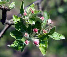 Free - Apple Flowers Royalty Free Stock Photo - 14117365