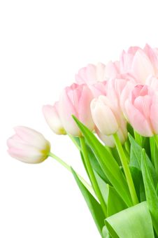 Free Tulips Isolated On White Royalty Free Stock Photo - 14117775
