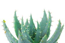 Free Aloe Isolated On White Royalty Free Stock Photography - 14118387