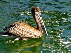 Free Pelican Bird Royalty Free Stock Images - 14118679
