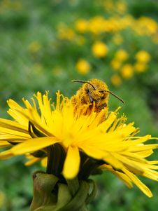 Honeybee On Dandelion Stock Photo