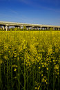 Free Campo Di Canola In Fioritura Royalty Free Stock Image - 14126256