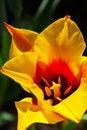 Free Yellow Tulip Royalty Free Stock Image - 14127936