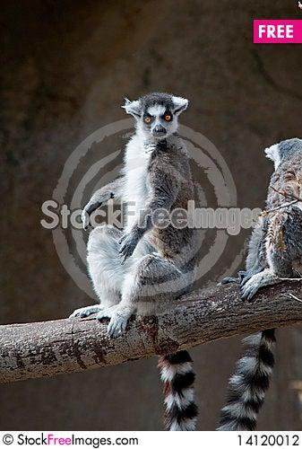 Free Ring Tailed Lemur Sunbathing Stock Photography - 14120012