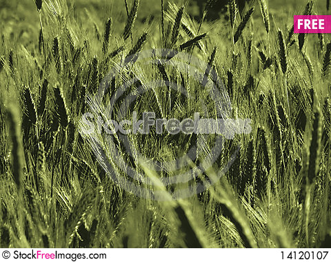 Free Wheat Royalty Free Stock Photography - 14120107