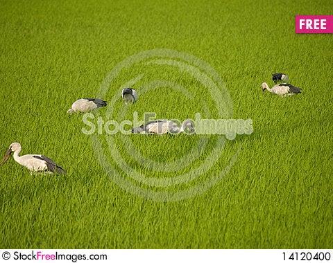 Free Stork Eat Field Stock Photo - 14120400