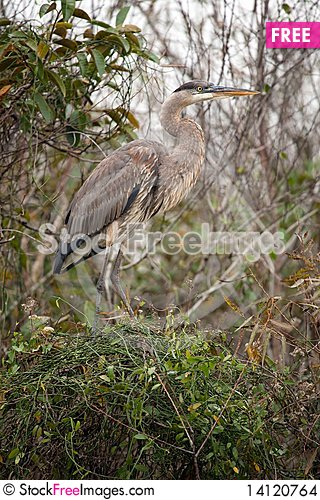 Free Great Blue Heron Stock Images - 14120764
