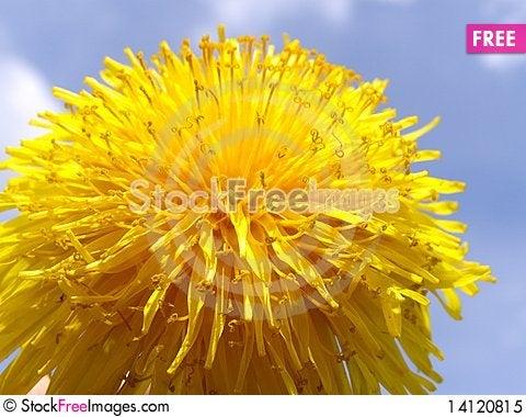 Free Dandelion Flower Background Royalty Free Stock Photo - 14120815
