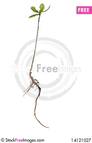 Free Small Oak Royalty Free Stock Photography - 14121027