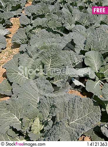 Free Cultivated Fields Of Cabbage Stock Photos - 14121363
