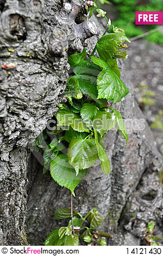 Free Leaves Growing From The Tree Trunk. Stock Photo - 14121430