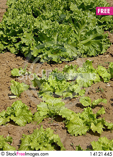 Free Cultivated Fields Green Salad Royalty Free Stock Photo - 14121445