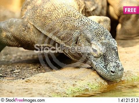 Free Komodo Dragon Stock Photos - 14121513