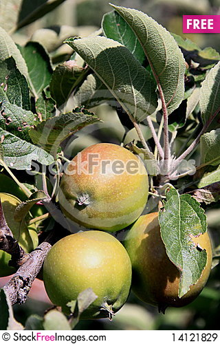 Free Apples On The Tree Royalty Free Stock Images - 14121829