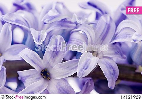 Free Hyacinthus Flower Royalty Free Stock Images - 14121959