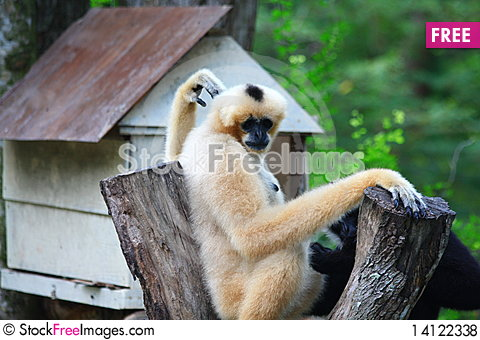 Free Monkey Royalty Free Stock Photos - 14122338