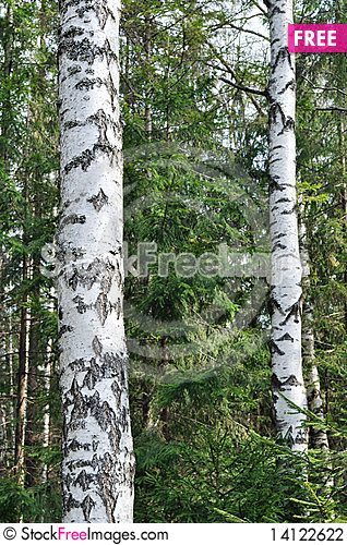 Free Trunks Of Birch Trees In Spring Time Stock Photography - 14122622