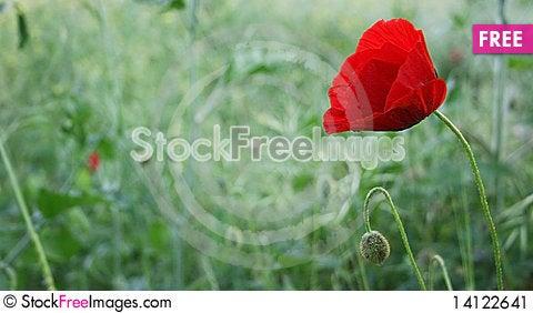 Free A Poppy & Bud Stock Image - 14122641