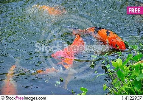 Free Fish Royalty Free Stock Photography - 14122937