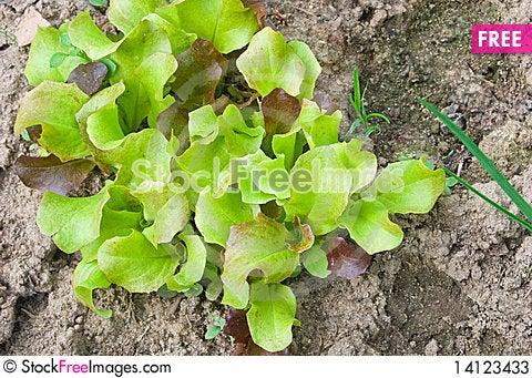 Free Lettuce Stock Photos - 14123433