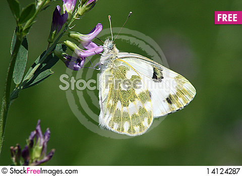 Free Butterfly (Pontia Edusa) Royalty Free Stock Photography - 14124287