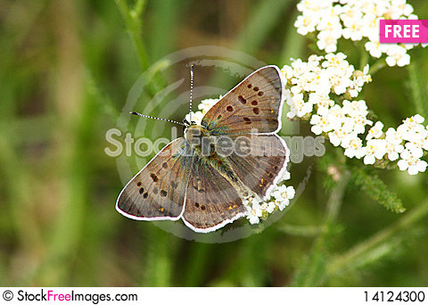 Free Day Butterfly (Heodes Ssp.) Stock Photo - 14124300