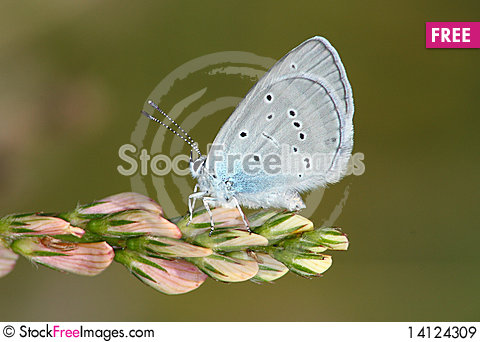Free Day Butterfly (Lycaena) Royalty Free Stock Images - 14124309